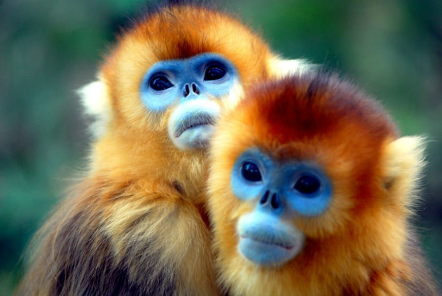 sneezing-monkey